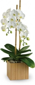potted-orchid-for-sympathy